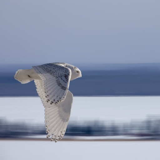 cropped-Snowy-Owl-In-Flight.jpg